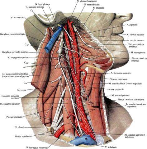 Анатомическое строение сосудисто-нервного пучка шеи.