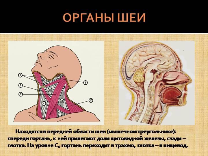 Органы шеи, изменения в которых могут привести к комку в горле.