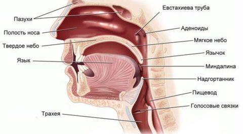 Расположение аденоидов относительно других анатомических структур