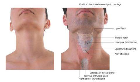 Визуальное расположение хрящей гортани