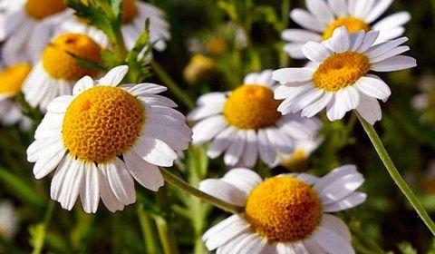 Аптечная ромашка отличается от прочих сортов этого растения за счет выгнутого и полого дна корзинки и мелких, похожих на укроп, листочков