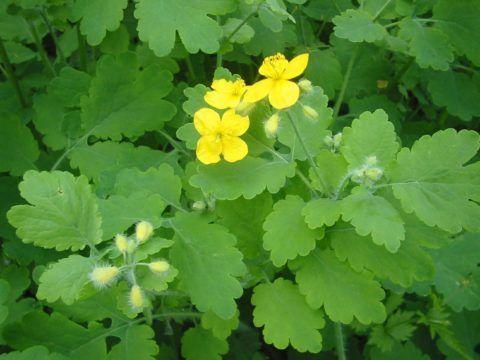 Чистотел - лекарственное растение