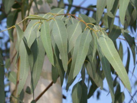 Эвкалипт: дерево и лист