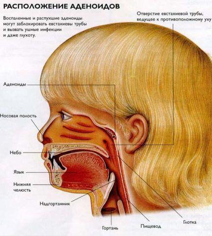 Графическое строение ротоглотки и носоглотки