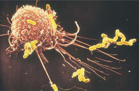 Борьба лейкоцита и стрептококка