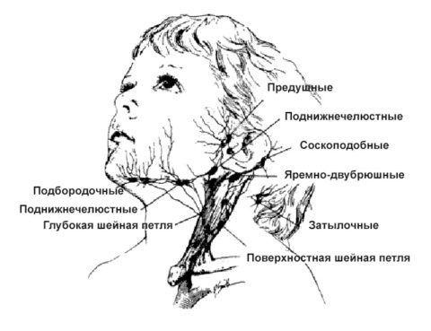 На схематическом фото показано расположение лимфоузлов в области шеи.