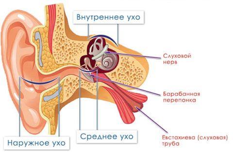 Строение органа слуха, которое важно знать для определения локализации воспалительного очага