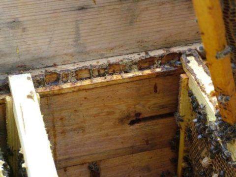 Пчелы прополисом фиксируют рамки в улье – на фото хорошо видны следы