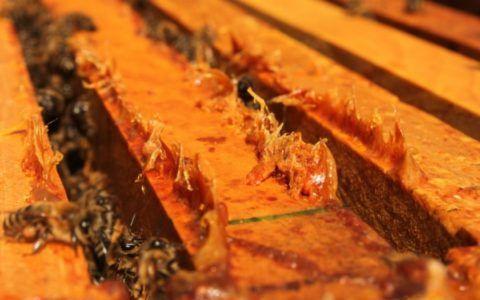 Свежий прополис на отложенный пчелами на верхней планке рамок